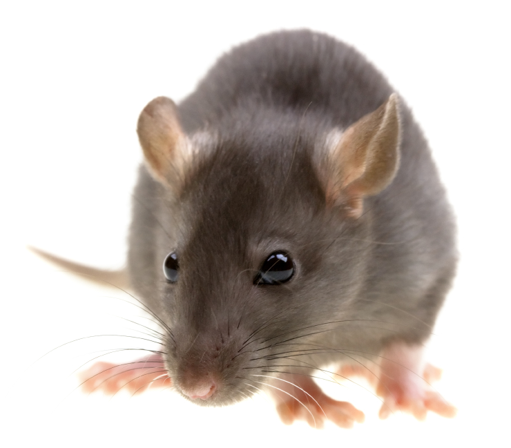 Problemes amb rates - desratització